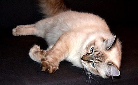 chat aux yeux bleus race