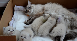 chatons siberien ariege sud france hypoallergenique