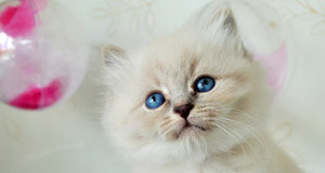 chaton chatterie achat chat siberien