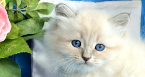 siberian cat breeding elevage siberien
