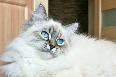chat-hypoallergenique-siberien-chaton-gd
