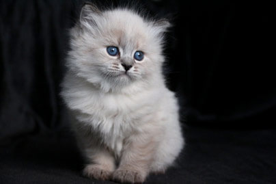 chatons-elevage-reserver-race-siberien
