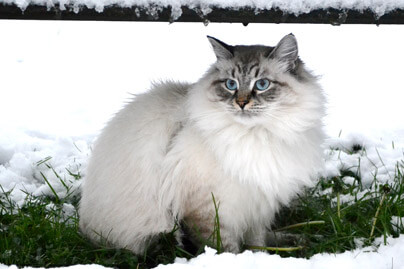 froid chat siberien elevage passion gabari